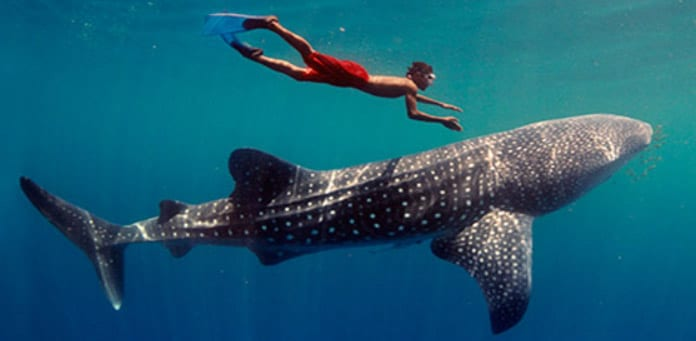 Whale Shark Tours Cancun
